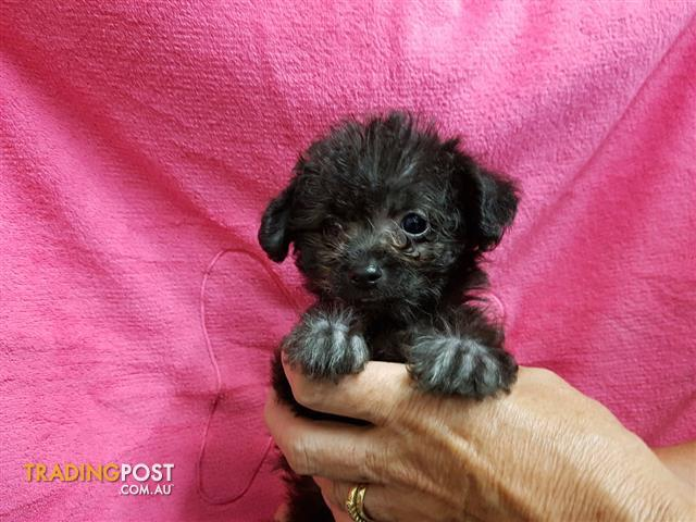 Small Dog Puppies For Sale Melbourne