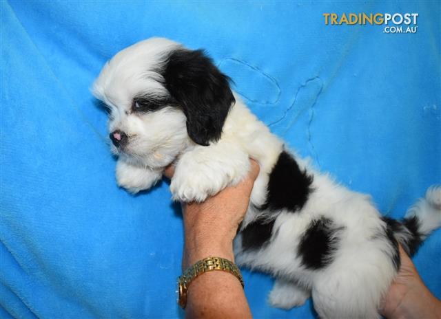 Maltese X Shih Tzu Puppies For Sale In Loganholme Qld Maltese X
