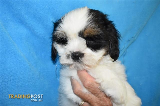 Maltese X Shih Tzu Puppies At Puppy Pad 07 3209 9200 For Sale In