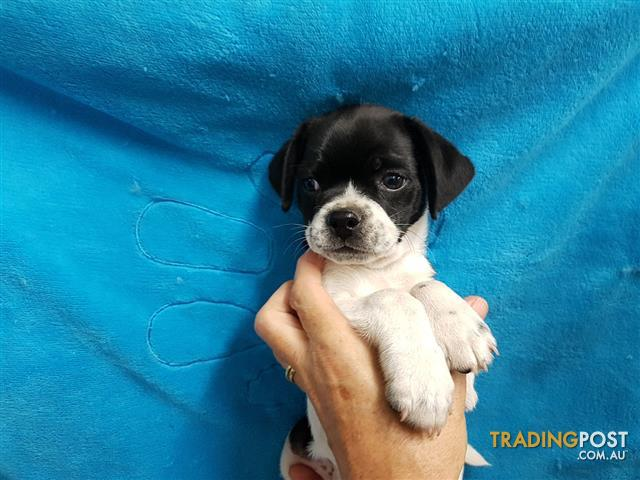 Jug Puppies at Puppy Pad Jack Russell x Pug for sale in Loganholme ...