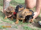 mini dachshund pups 4 sale
