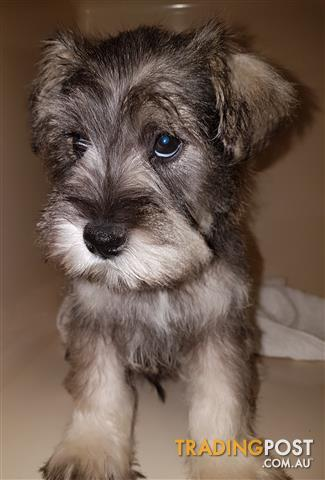 Miniature schnauzer puppies for sale 3 hrs north of Sydney