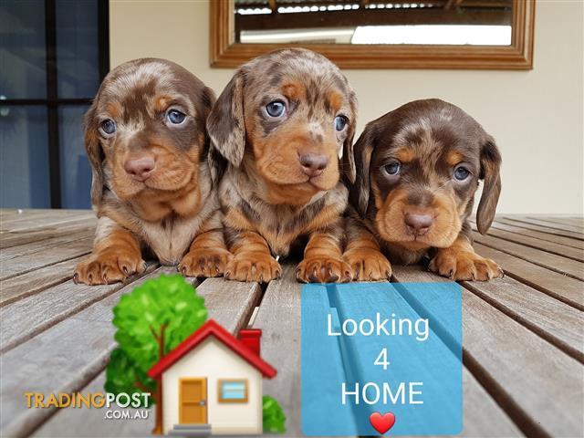 Chocolate miniature dapple dachshund puppies for sale for sale in North  Parramatta NSW | Chocolate miniature dapple dachshund puppies for sale