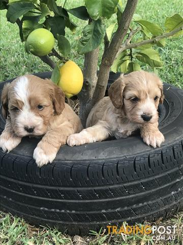 First Generation Cavoodle Puppies .Wollongong Area
