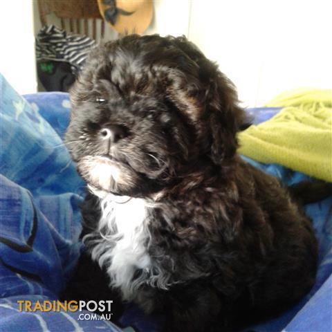 SHMOODLE  (Shi-tzu/Maltese X Toy Poodle