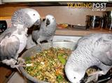 Lovely Tame Congo African Grey Parrots