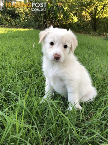 Purebred Wheaten White Border Collie Puppies