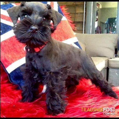 Miniature schnauzer pups with pedigree papers