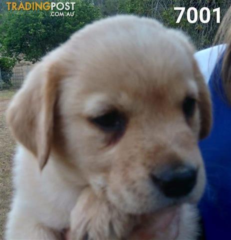 Labrador X Golden Retriever Puppies
