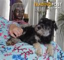 adorable  MALE SCHNAUZER PUPPY    4 MONTHS OLD