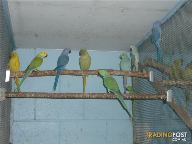 Indian Ring - Necked Parrots