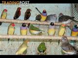 Australian Native Finches