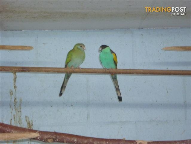 Hooded Parrots