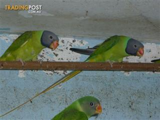 Slaty Headed Parrots