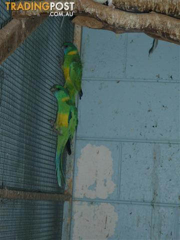 Cloncurry Parrots