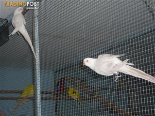 Princes Parrots