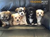 Maltese Shih Tzu Puppies for Sale