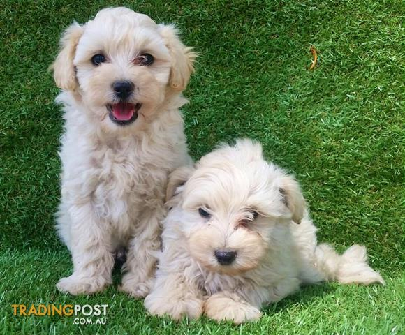 Dogs For Sales Perth