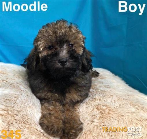 Moodle Maltese X Toy Poodle In Perth Western Australia