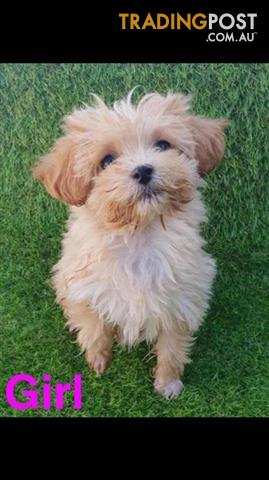 Shmoodle Maltese X Shih Tzu X Toy Poodle In Perth Western