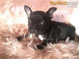 Pure French Bulldog Puppies