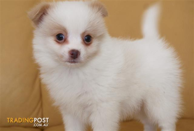 Pomeranian x Chihuahua Puppies For Sale Sydney