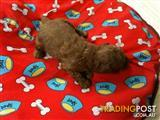 TOY POODLE RED AND APRICOT
