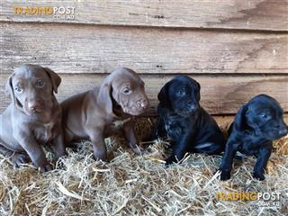 Find German Shorthaired Pointer puppies for sale in Australia