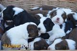 Beautiful pure bred Border Collie Puppies