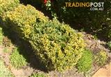 Advanced buxus plants -17 in total