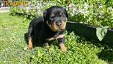 For sale pure bred Rottweiler puppies