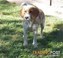 Beautiful Beagle Female
