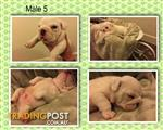 Aussie Bulldog Pup Male