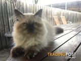 Purebred Himalayan kitten for sale female beautiful blue eyes