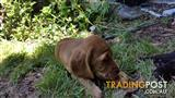 Shorthaired Cockerspaniels Designer bred...only 5 in the world