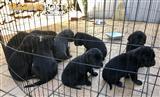 Cane Corso Mastiff puppies