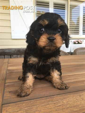 Adorable Black and Tan Male puppy