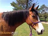 Beautiful QHX mare