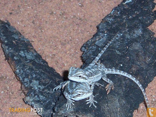 Het Hypo Bearded Dragons Advanced Hatchlings