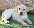 Labrador Purebred Puppies