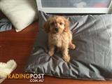 Ruby color male cavoodle puppy, ready for new home