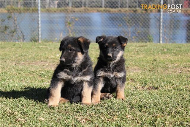 Find German Shepherd Dog puppies for sale in Australia