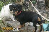 Wanted: MISSING BELIEVED TO BE STOLEN FEMALE DACHSHUND 18 MONTHS OF AGE