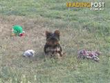 YORKSHIRE TERRIER PUPPY - FEMALE