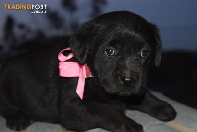 All Now Sold 1 Purebred Black Female Labrador Puppy Left From This Litter