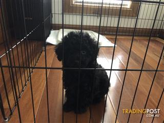 Toy Poodle Find Poodle Toy Classifieds In Nsw Australia