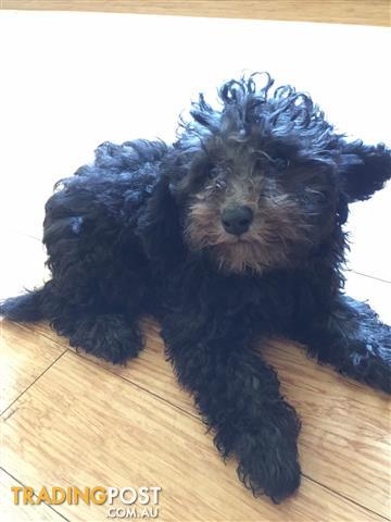 PURE BREED Gorgeous RARE Silver girl Toy Poodle