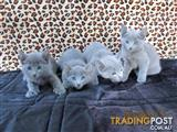 100%      RUSSIAN  BLUE   KITTENS