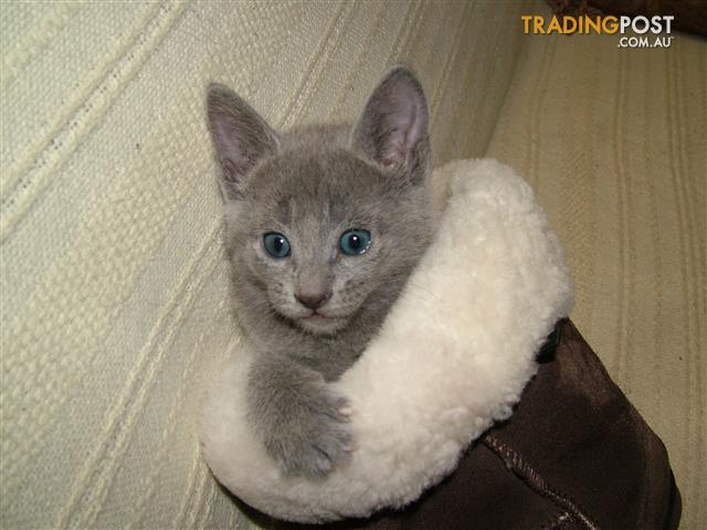 100 russian blue kittens for sale in frankston north vic 100 100 russian blue kittens solutioingenieria Images
