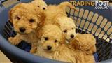 Pure breed Toy Poodles